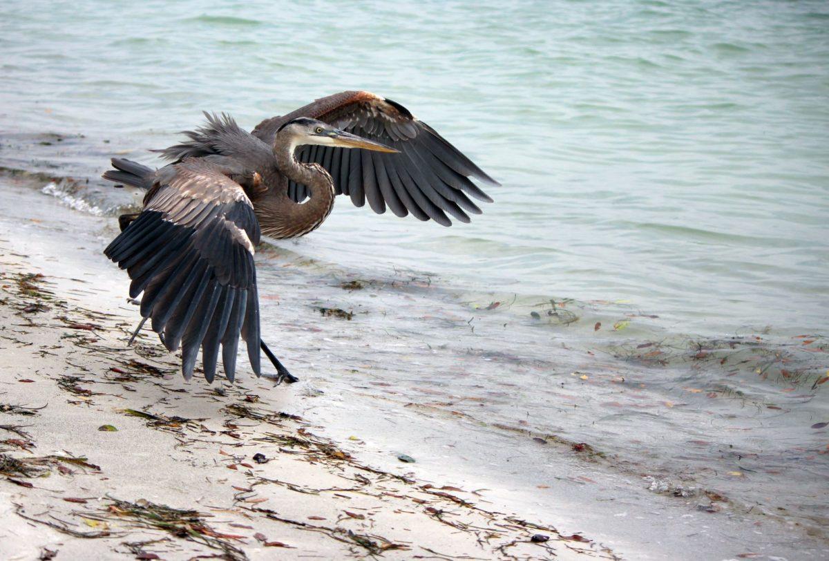 blue heron on siesta key beach